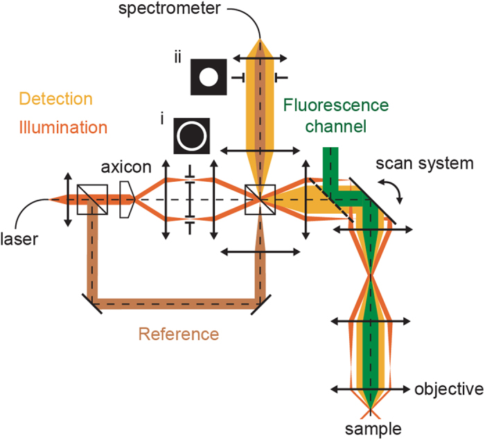 Combined Optical Coherence and Fluorescence Microscopy to assess dynamics and specificity of pancreatic beta-cell tracers.